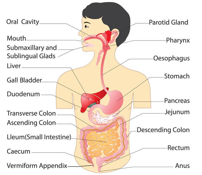 digestive system 101, Human body